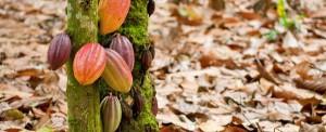 Cultures et saveurs Dominicaines, Terroir cacao & café