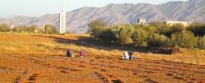 Fleurs de Safran, à la cueillette de l'or rouge à Taliouine