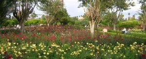 Parfum de roses dans le jardin de l'Atlas